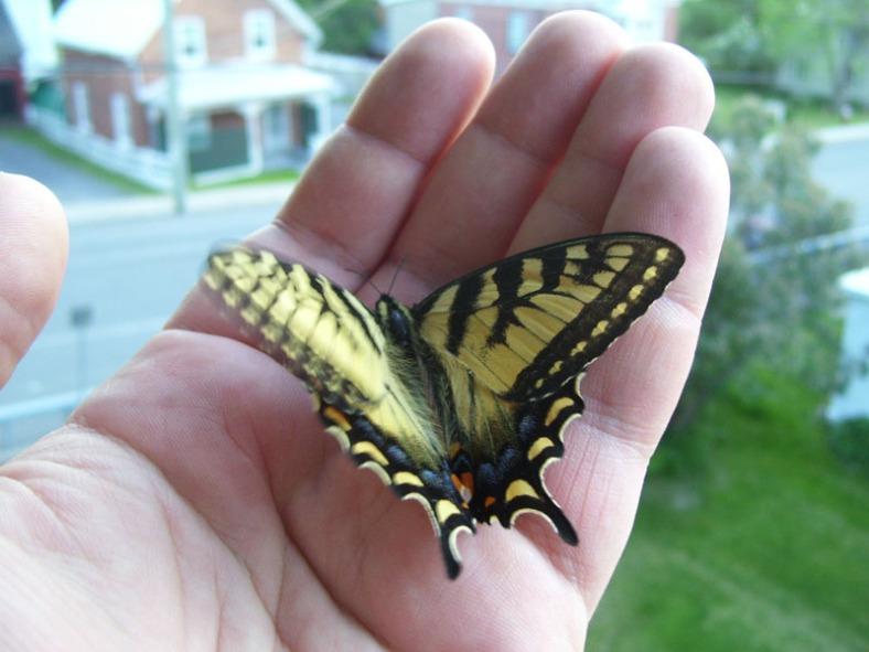 Vankleek Hill butterfly