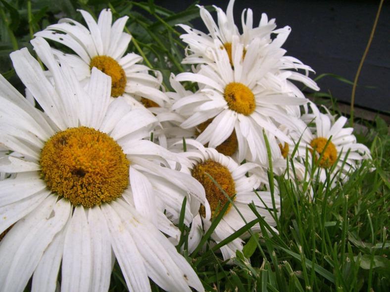 Vankleek Hill daisies