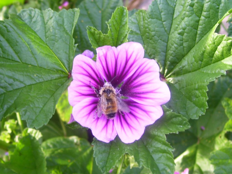 purple Vankleek Hill bee