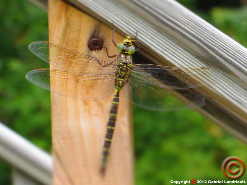 Vankleek Hill dragonfly