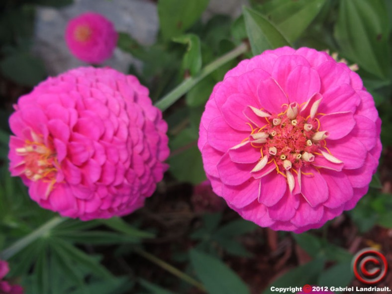 Vankleek Hill flower