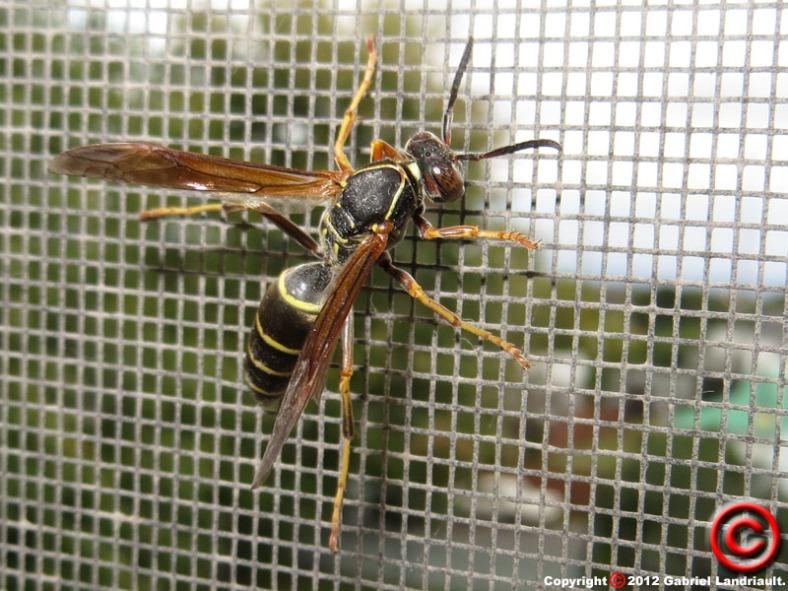 Vankleek Hill wasp