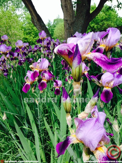 These are my Mommy's Iris'. My Mom died a few years ago so when these bloom....I feel her smiling!