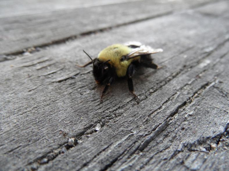 a Vankleek Hill bumblebee